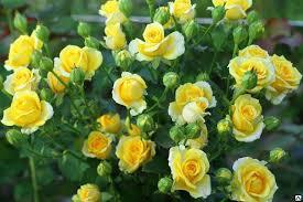 почвопокровная желтая