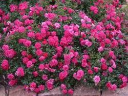 почвопокровная розовая