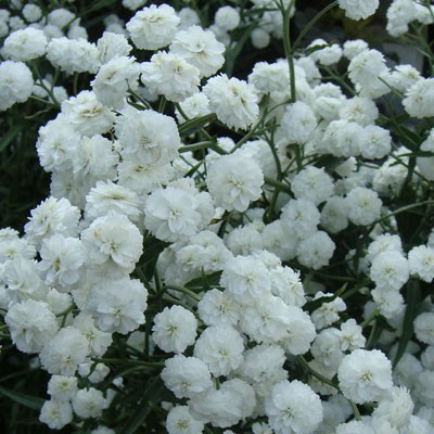 cvety33ru_gipsofila bristol feyri